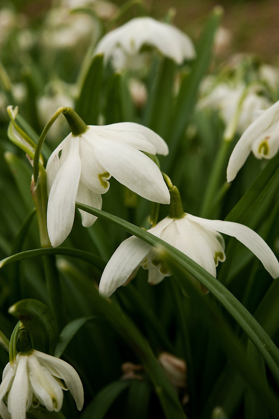 Double petaled snowdrops (Galanthus nivalis f. pleniflorus) blooming in an Oxfordshire meadow.