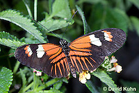 0419-1106  Elevatus Butterfly, Heliconius elevatus, Amazon  © David Kuhn/Dwight Kuhn Photography