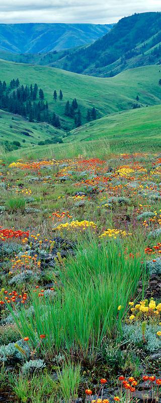 Wild Buckwheat (Sp Eriogonum) flowers. Zumwalt Prairie Nature Conservatory. Oregon