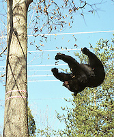 A 275 lb. black bear falls from a tree in the median of the HWY 29 April 12, 2002 in Albemarle County, Virignia after being tranqilized by wildlife officials. The bear was first hit by a car the previous evening and was eventually captured by the Virginia Department of Game and Inland Fisheries and taken to an undisclosed location to recover from his injuries. ( Photo/Andrew Shurtleff/The Daily Progress)