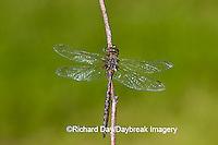 06364-001.09 Springtime Darner (Basiaeschna janata) male, Clay Co,  IL