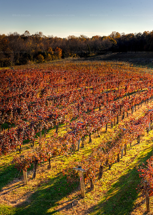 Gray Ghost Vineyards' red grape vineyards turn red in the fall.  (HDR image near sunset.)