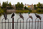 Five Pigeons perched on a railing in Blessington Street Basin, Dublin.
