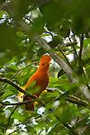 Reserve naturelle des Nouragues. .coq de roche