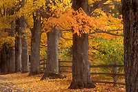 maple trees, fall, Royalton, VT, Vermont, Colorful maple trees along the road at the Joseph Smith Memorial, birthplace of the Mormon Prophet, The Church of Jesus Christ of the Latter Day Saints in the autumn.