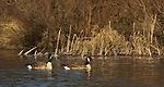 Pair of Canada geese on the Chippewa River in northern Wisconsin