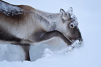 Reindeer, Rangifer tarandus, Nikkaluokta, Lapland, Laponia, Norrbotten county, Sweden