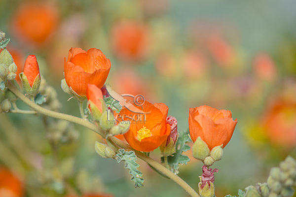 Desert Globemallow or Apricot Mallow (Sphaeralcea ambigua)--common wildflower of desert Southwest.  Feb-March.