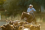 La Grange, California October 25, 2007..Erickson Cattle Cattle Company drive from Uglow Ranch along Penon Blanco Road to stone Corral on Merced Falls Road.. .Photo by AL GOLUB/Golub Photography.