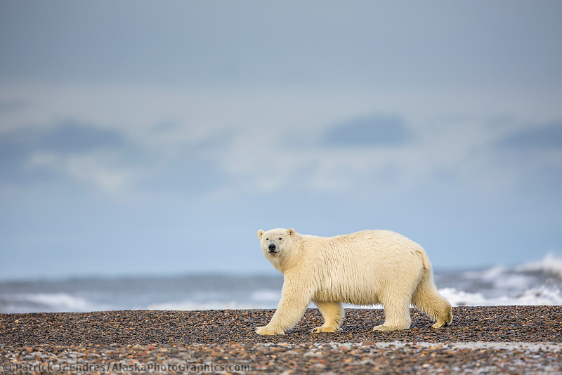 Polar bear on the shores of a barrier island in the Beaufort Sea off the coast of Alaska's Arctic shore.