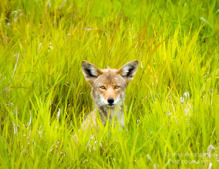 Gift card photo (set of 4) of coyote is peering out of the grass at viewer in the Ridgefield National Wildlife Refuge