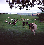 A293Y9 Herd of cows of lush grassy field framed by tree looking towards Cherhill chalk scarp slope Wiltshire England
