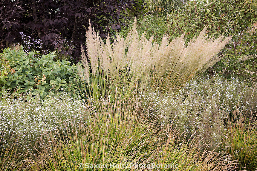 Meadow grasses with varied heights, Sesleria autumnalis (moor grass) and taller background grass - Calamagrostis brachytricha with perennial Calamintha in demo garden at Northwind Perennial farm, Wisconsin