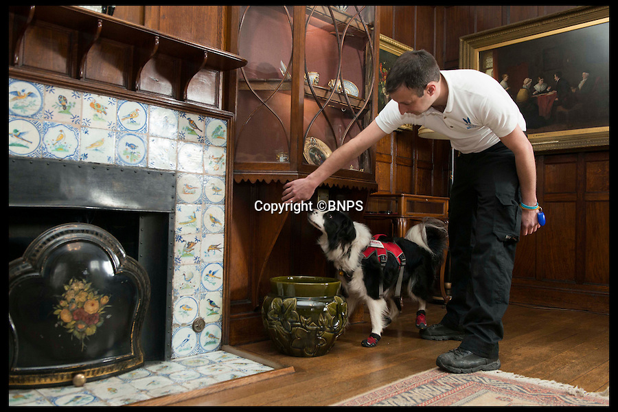 BNPS.co.uk (01202 558833)<br /> Pic: LauraDale/BNPS<br /> <br /> Mark Doggett uses his dogs Meg to track down the elusive signs of dry rot.<br /> <br /> New tricks for old dog breeds...<br /> <br /> Enterprising Mark Doggett has come up with a new business idea that's not to be sniffed at...A team of crack pooches that use thier noses to find dry rot in old houses.<br /> <br /> And he now has plans to train the cunning canines to hunt out bed bugs for hotel chains as well.<br /> <br /> Sniffer dogs have been trained to detect the destructive fungi early and in areas humans can't access, meaning they could save people thousands of pounds of expensive damage.<br /> <br /> There are even plans to train the dogs to detect bed bugs, which could prove a huge help to hotels, hospitals and boarding schools.<br /> <br /> Mark Doggett, 30, started his business Enviro-dogs last year and it is the only company in the country people can hire to check properties for dry rot.