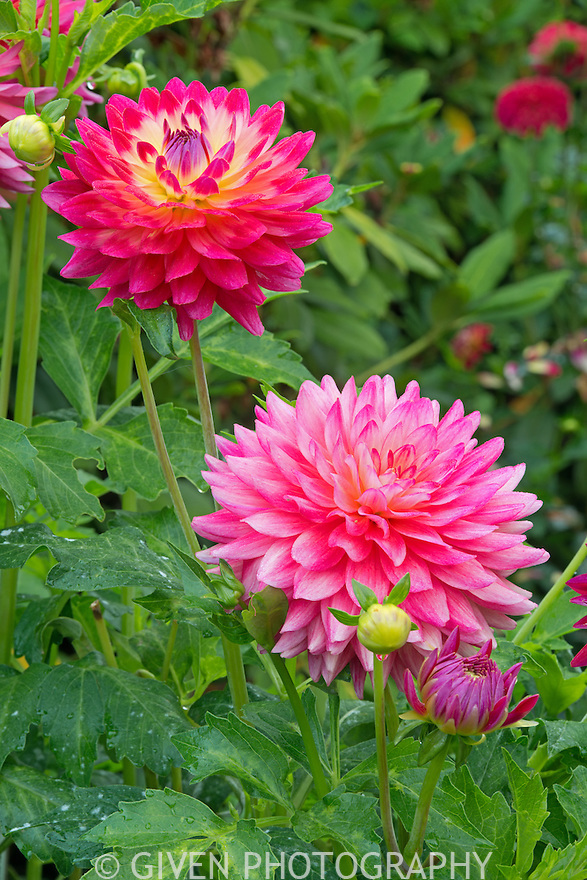 Dahlias in bloom, Washington