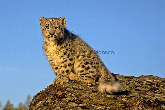 A highly endangered snow leopard on top of a rock against a blue sky. Only an estimated 3500 to 7000 exist in the wild.
