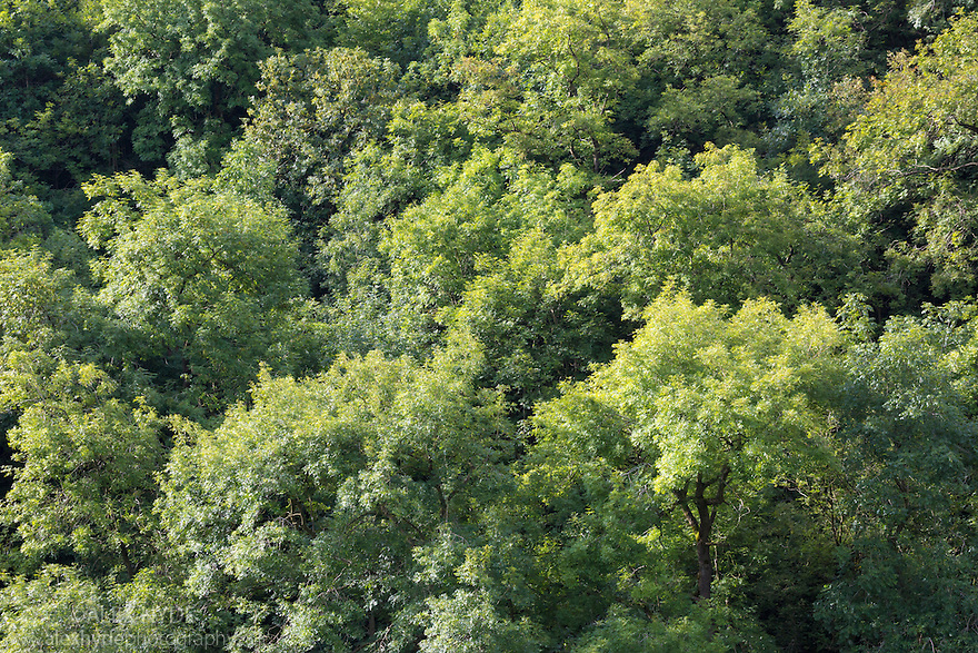 Ash Fraxinus excelsior woodland canopy in Lathkill Dale Peak District National Park & Ash Woodland Canopy - Peak District | Alex Hyde