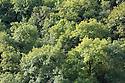 Ash {Fraxinus excelsior} woodland canopy in Lathkill Dale, Peak District National Park, Derbyshire, UK. September.