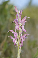 Holy Orchid - Orchis sancta