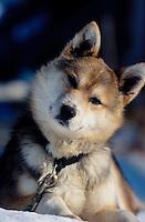 Curious Husky Pup at Shaktoolik