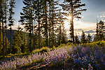 Idaho, Northern, Boundary County, Bonners Ferry, Kaniksu National Forest. Mountain bluebells on a ridge in the Cabinet Mountains on a late spring afternoon.