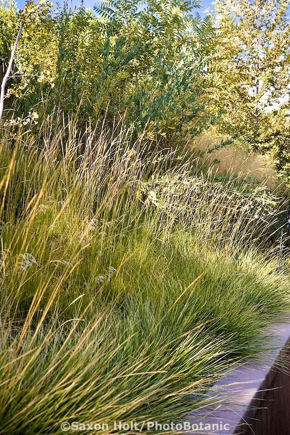 Pennisetum spathiolatum Slender Veldt Grass, flowering grass above retaining wall on California hillside meadow garden