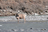 A caribou looks back at the rest of its herd along the Kongakut River, in Alaska's Arctic National Wildlife Refuge.