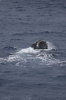 Southern Right whale Eubalaena australis, surfacing and spouting, South Orkney islands, Scotia Sea, Southern Ocean, Antarctica