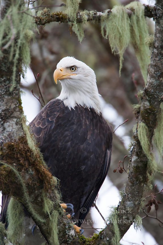 A Bald Eagle scans the Skagit River for fish.