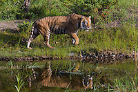 Siberian Tiger walking along a pond - CA