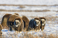 Young muskoxen stand on the snow covered tundra of Alaska's Arctic Coastal Plain.