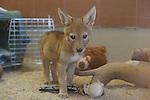 Male coyote pup, rehabilitation