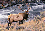 Elk bull next to stream, Yellowstone National Park, Wyoming, USA