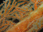 Apo Reef, Sulu Sea -- A Large Whip Goby on a gorgonian sea fan.