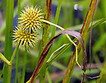 Detail of a plant in the marshland in the Esopus Bend Nature Preserve, in Saugerties, NY, on Tuesday, September 5, 2017. Photo by Jim Peppler. Copyright/Jim Peppler-2017.