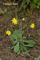 FD11-500z Mouse-eared Hawkweed, Hieracium pilosella