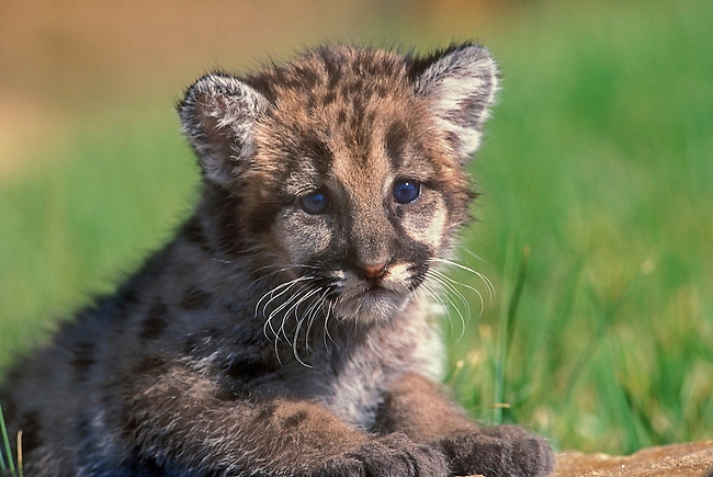 Mountain Lion Kitten, Rocky Mountain Wildlife Park, Pagosa Springs, Colorado