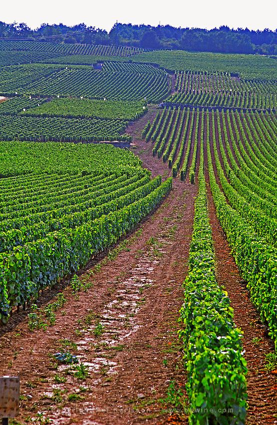 Vines in the Grand Cru vineyards Romanee Conti and Richebourg leading to La Romanee, Vosne, Bourgogne