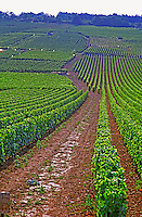 Vines in the Grand Cru vineyards Romanee Conti and Richebourg leading to La Romanee, Vosne, Bourgogne