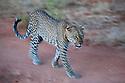 Kenya, Samburu, leopard walking, motion blur
