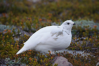 Adult White-tailed Ptarmigan (Lagopus leucurus) in winter plumage. Mount Rainier, Washington. October.