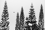 Like their monkeypuzzle cousins, Cook pines (Araucaria columnaris) have uniquely whorled branches and a prehistoric appearance, Hawai'i, USA<br />