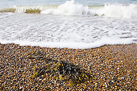 Seaweed washed up on Cley Beach, North Norfolk coast, United Kingdom