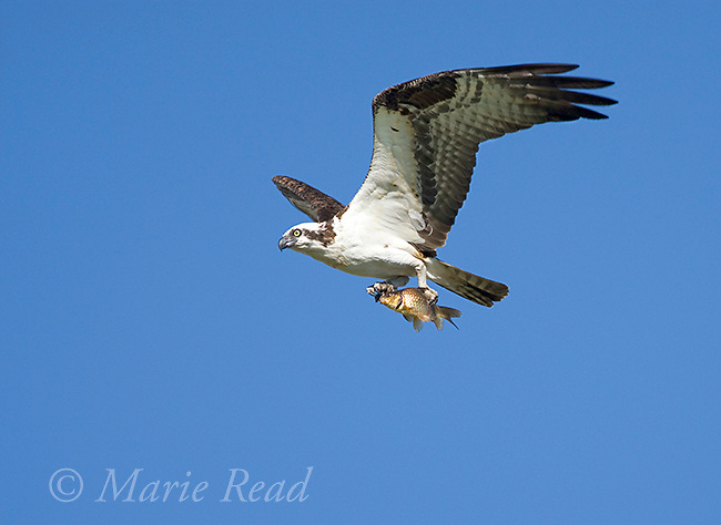 Osprey (Pandion haliaetus), in flight carrying a fish (carp), Montezuma National Wildlife refuge, New York, USA