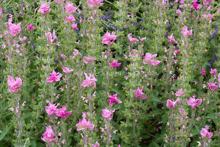 Salvia viridis var. comata aka S. horminum, Painted Sage, in pink variety color