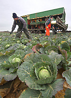 Picking Tundra winter  cabbages, on the first day back at work after the Christmas break, on David and Darren Baxter's Highbrow Farm, Banks, Southport, Mersyside. Half will go to supermarkets and half to markets all over the country in boxes carrying the Highbrow Produce name.