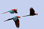 Red & Green Macaws, Ara Chloroptera, family in flight against blue sky, Manu, Peru, group, flying . .Peru....