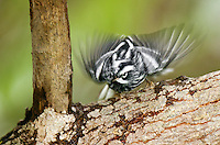 591350007 a wild male black-and-white warbler mniotilta varia forages for insects on a tree limb on south padre island in cameron county texas