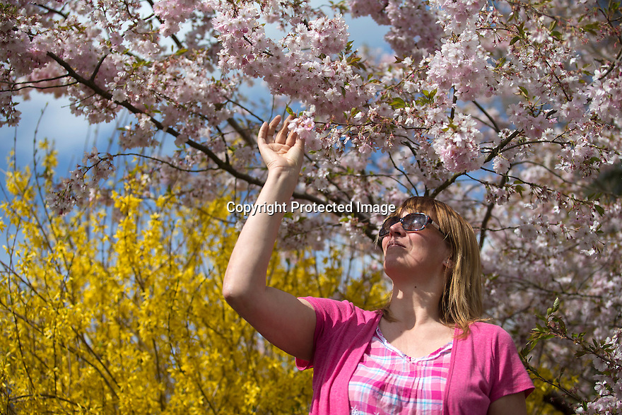 22/04/16 <br /> <br /> Carolyn Bointon marvels at the cherry and forsythia   blossom near Ambergate, Derbyshire ahead of this weekend's forecast arctic blast.<br /> <br /> All Rights Reserved: F Stop Press Ltd. +44(0)1335 418365   +44 (0)7765 242650 www.fstoppress.com