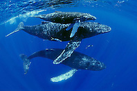 humpback whales, Megaptera novaeangliae, mother, calf, escort, and rainbow runners, Elagatis bipinnulatus, Hawaii, USA, Pacific Ocean